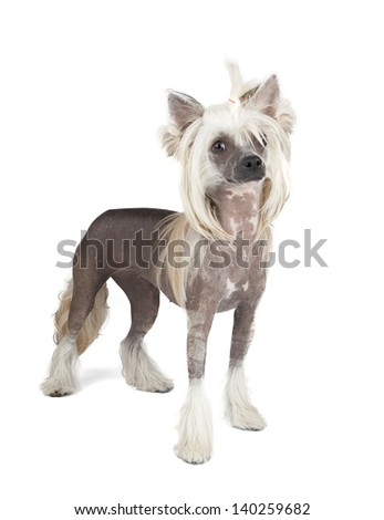 Chinese Crested Dog isolated on white background - stock photo