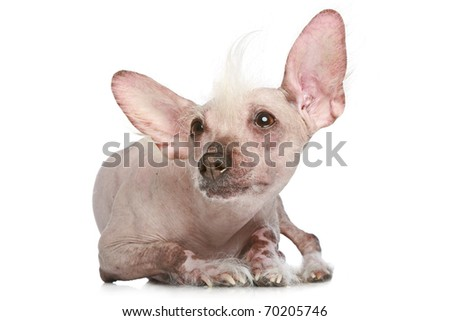 Chinese Crested dog lying on a white background - stock photo
