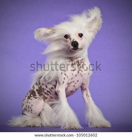 Chinese Crested Dog, 9 months old, sitting against purple background - stock photo