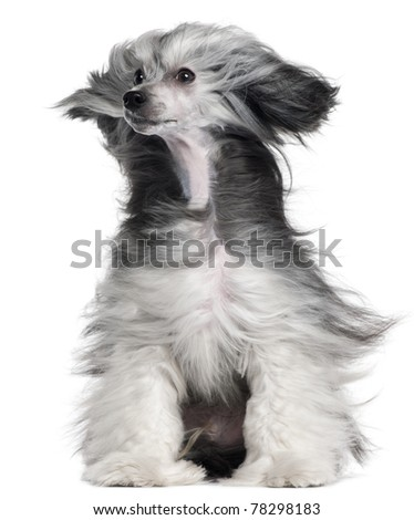 Chinese Crested Dog, 15 months old, with hair in the wind in front of white background - stock photo