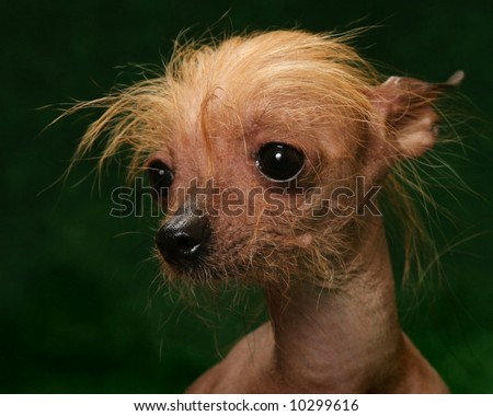 Chinese Crested Dog portrait - stock photo