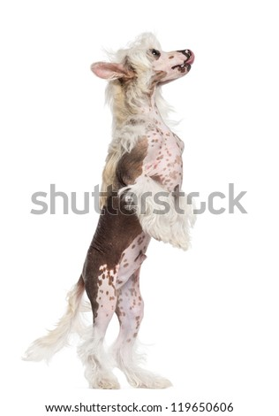 Chinese Crested dog standing on hind legs and looking up against white background - stock photo