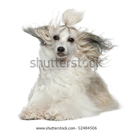 Chinese Crested Dog with hair in the wind, 2 years old, in front of white background - stock photo