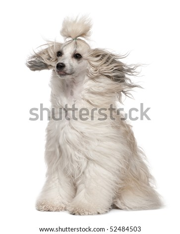 Chinese Crested Dog with hair in the wind, 2 years old, sitting in front of white background - stock photo