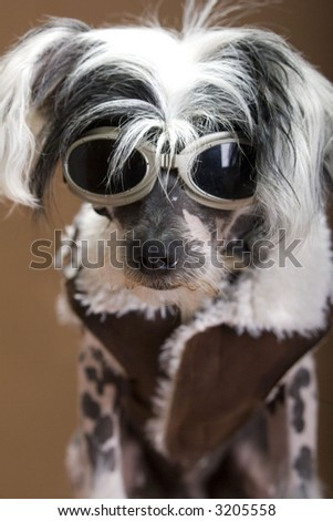 Chinese crested hairless, - stock photo