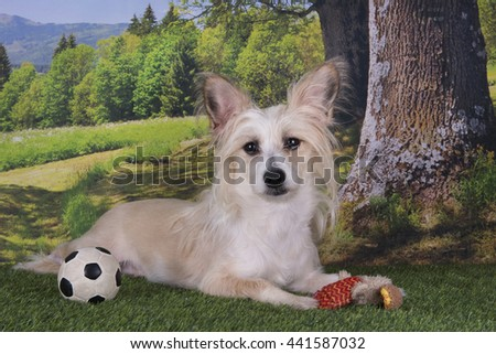 Chinese Crested playing with a ball on the edge of the forest