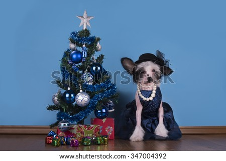Chinese Crested puppy around the Christmas tree - stock photo