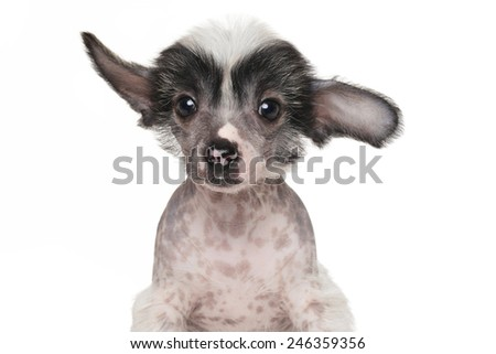 Chinese crested puppy. Close-up portrait isolated on white background