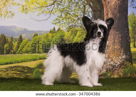 Chinese Crested puppy playing on the lawn summer day - stock photo