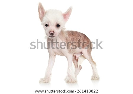 Chinese crested puppy standing in front of white background
