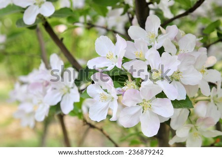 Chinese flowering crab-apple blooming  - stock photo