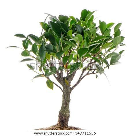 Chinese green bonsai tree Isolated on white background - stock photo