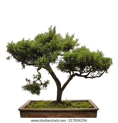 Chinese green bonsai tree on white background  - stock photo