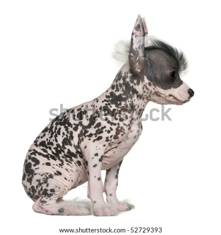 Chinese hairless crested dog, 6 weeks old, on table in front of white background - stock photo
