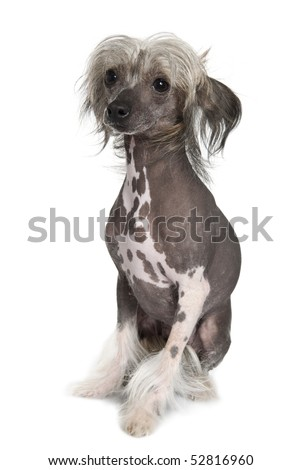 Chinese hairless crested dog, 2 years old, sitting in front of white background - stock photo