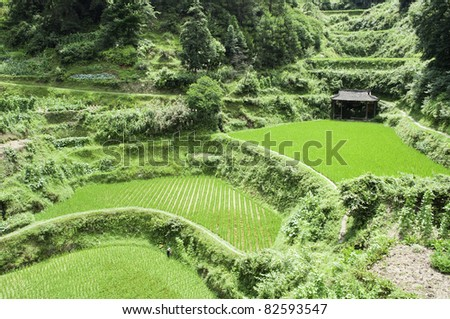 Chinese rice fields in the middle of the growing season - stock photo