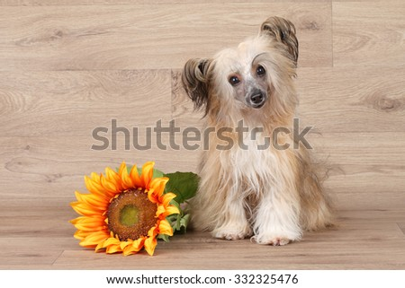 Chinese shaggy Crested dog with sunflower on wooden background - stock photo