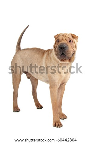 Chinese shar pei dog isolated on a white background - stock photo
