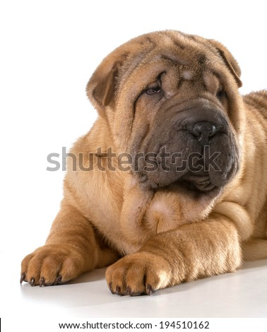 chinese shar pei puppy isolated on white background