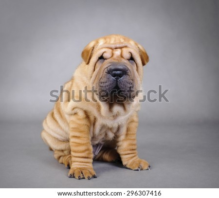 Chinese Shar pei puppy portrait - stock photo