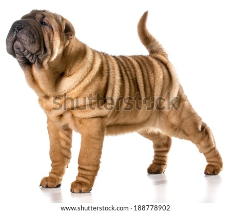 chinese shar pei puppy standing wagging tail isolated on white background - 4 months old