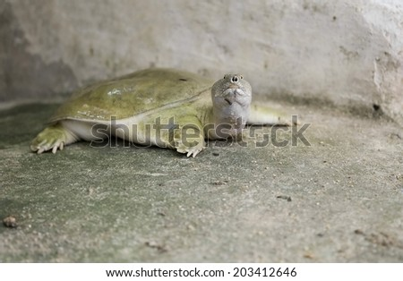 Chinese soft-shelled turtle on the ground. - stock photo