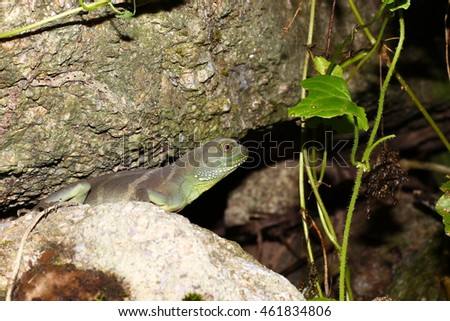 Chinese water dragon, Physignathus cocincinus, in the forest thailand