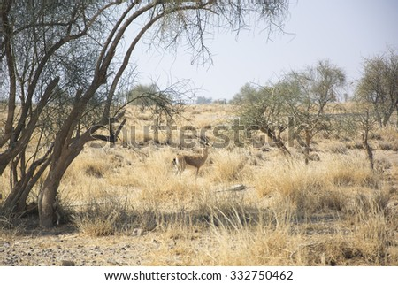 Chinkara (The Indian Gazelle) in the Desert National Park, Rajasthan, India - stock photo