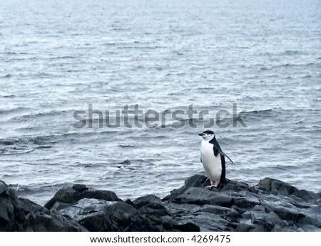 Chinstrap penguin. - stock photo