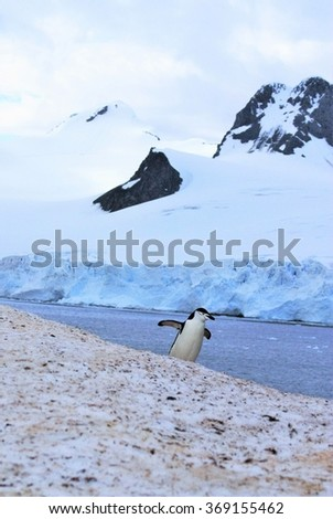 Chinstrap penguin coming over a snow covered rise with snow covered mountains and a glacier in the background