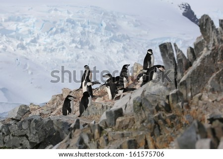 Chinstrap penguin (Pygoscelis antarctica) rookery in Antarctica - stock photo