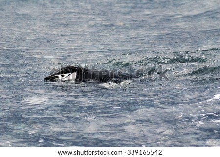 Chinstrap penguin swimming
