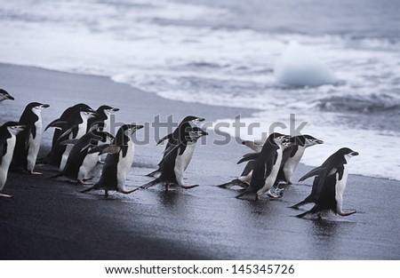 Chinstrap Penguins (Pygoscelis antarcticus) colony walking into sea - stock photo