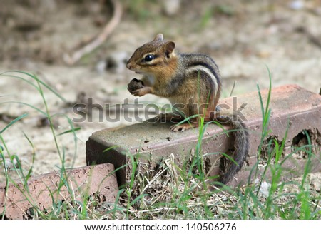 Chipmonk sitting upright on bricks around a garden holding a nut in its paws. - stock photo