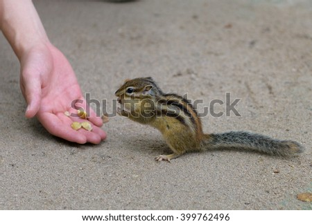 Chipmunk beeing fed by nuts - stock photo