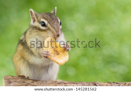 Chipmunk eating banana chip