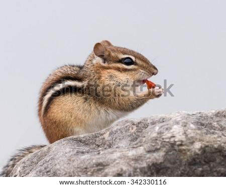 Chipmunk Eating Berries - stock photo