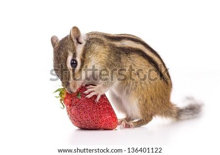 Chipmunk eating strawberry - stock photo