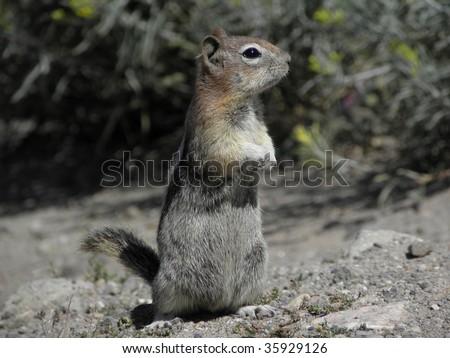 chipmunk in  idaho - stock photo