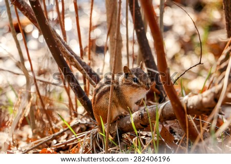 Chipmunk in the woods - stock photo