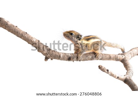 Chipmunk isolated on white background