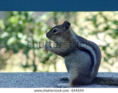 chipmunk nibbling on fast food