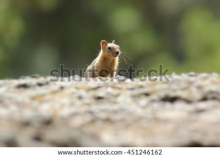 Chipmunk posing on a rock - stock photo