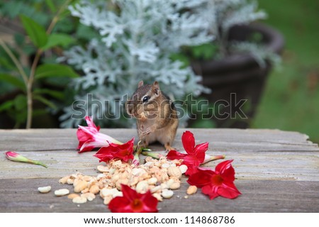 chipmunk preparing for the winter months by gathering peanuts - stock photo