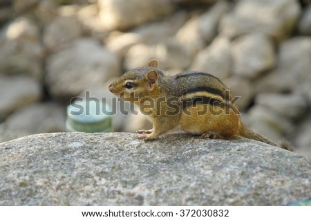Chipmunk sitting on stone in the Brookfield zoo, IL, USA. Sunset light. - stock photo