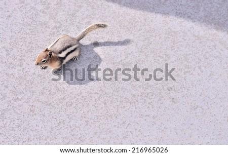 Chipmunk squirrel portrait - stock photo