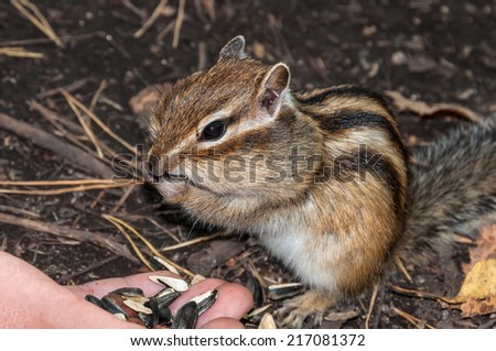 Chipmunk standing and eating seeds and nuts with hands - stock photo