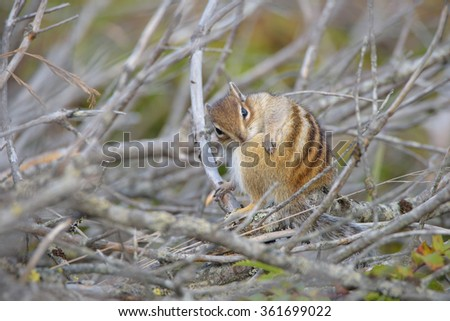 Chipmunk. Wildlife of the northern part of Sakhalin Island, Russia. - stock photo