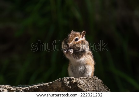 Chipmunk with sunflower seed in paws standing on a stone in the sunshine on a dark background - stock photo