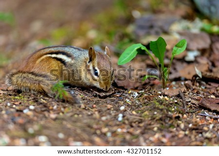 Chipmunks are small, striped rodents of the family squirrel. Chipmunks are found in North America, with the exception of the Siberian chipmunk which is found primarily in Asia. - stock photo